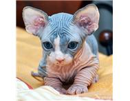 Purebred Sphynx Kittens Available