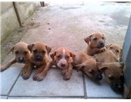 American Pit Bull Puppies for sale
