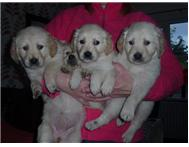 Pretty Golden Retriever puppies Both (Males & Females)