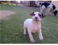 Bull terrier cross puppy for sale