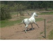 Children s Show Pony (Registered / ... Port Elizabeth