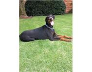Dobermann Large breed - KUSA reg