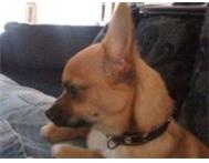 CUTE MALE CHIHUAHUA PUPPY FOR SALE Western Cape