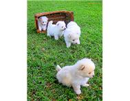 White and Tan 6 week old Toy Pom Pu...