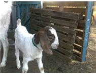 Boer Goats in Farm Animals For Sale North West Brits - South Africa