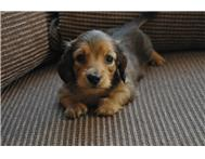 KUSA Registered Long-haired Miniature Dachshund male puppy