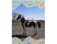 Pinto mare available