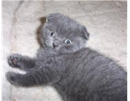 SCOTTISH FOLD AND SCOTTISH SHORTHAIR KITTENS