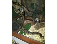 BALL PYTHON LARGE MALE - BEAUTIFUL SPECIMAN FOR BREADING