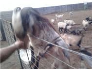 SKILDER GOATS FOR SALE East London