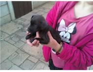 Miniture doberman Pincher cross puppies for sale