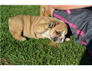 English Bulldog Puppies Vereeniging-kopanong