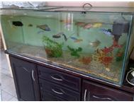 Aquarium Fish Malawi in Fish For Sale KwaZulu-Natal Chatsworth - South Africa