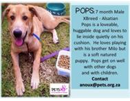 Pops - was rescued - now in foster care - please adopt me.