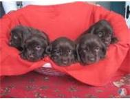 Adorable Sussex Spaniel Puppies for Sale Perfect Family Pet! Cape Town