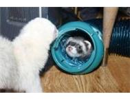 2 ferrets for sale (together or separately) Durban