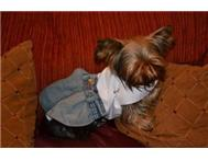 Dog Dress - Baby Makes Her Blue Jeans Bark in Pet Food & Products Eastern Cape East London - South Africa