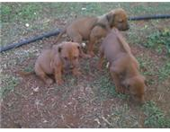 Rhodesian Ridgeback pups for sale