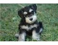 Looking for a Miniture Schnauzer pu...