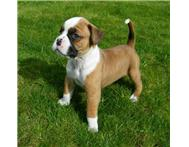 Lovely Boxer Puppies For Adorable Homes