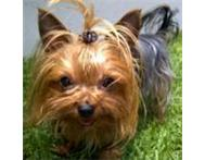 Wanted: Lost - Yorkshire Terrier - Female