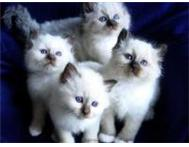 Gorgeous Blue eyed rabbit Birman kittens now ready Sandton
