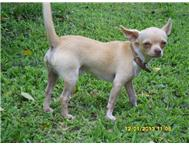 last Chihuahua puppie 1x females Ready to go now! And 1x male older Brother.