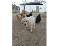 Male & Female Pedigree Golden Retriever in Dogs & Puppies For Sale Free State Bloemfontein - South Africa