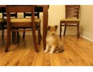 Beautiful Rough Collie Puppy Cape Town Rondebosch East