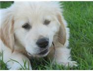 GOLDEN RETRIEVER PUPPIES KUSA REGISTERED READY TO GO