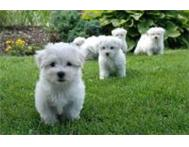 Cute males and females Maltese puppies available for sale ! Cape Town