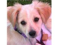 Spaniel Cross - was rescued - in foster care - please adopt me.