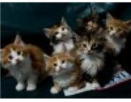 lovely Maine coon kittens Cape Town