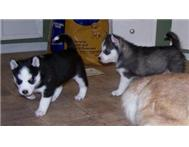 Cute And Adorable Siberian Husky Puppies For Free Adoption(