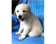 Male Pedigree Anatolian Shepherd Dog in Dogs & Puppies For Sale Limpopo Warmbaths - South Africa