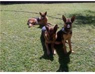 Beautiful German Shepherd puppies for sale