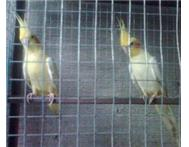 Cage Box & Pair Full White Cockatials