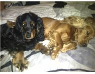 3x Black & 3x Golden Cocker Spaniels Puppies for Sale