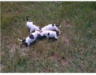 Female Beautiful Staffie Puppies