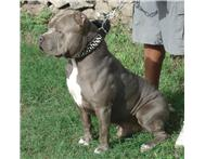 Blue American Pitbull Puppies And Red Nose Puppies and large