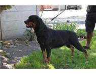 Registered Rottweiler Puppy