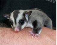 SUGAR GLIDER BREEDING PAIRS