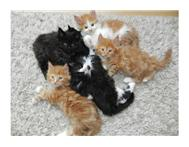 Pure Bred Main coon Kittens Available