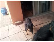 Doberman Pinscher (Miniature) - GIV...