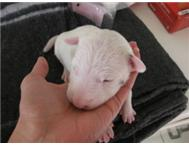 Bullterrier / bull terrier pups for sale