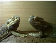 3 x Bearded dragons for sale