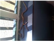 baby corn snakes Pretoria East