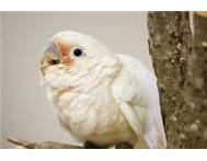 Look to buy a Goffin Cockatoo