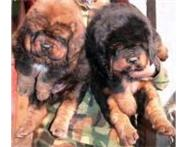 Tibetan mastiff puppies for sale Johannesburg