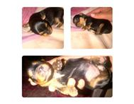 Male Purebred Yorkshire Terrier in Dogs & Puppies For Sale Northern Cape Kimberley - South Africa